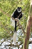Eastern Colobus monkey sitting in Acacia tree Colobus guereza Elsamere Naivasha Kenya
