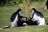 two Colobus monkeys sitting arguing over youngster Colobus guereza Elsamere Naivasha Kenya