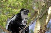 Close up of Colobus monkey with baby sitting in Acacia tree Colobus guereza Elsamere Naivasha Kenya