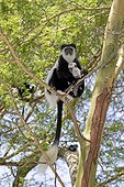 Eastern Colobus monkey (Colobus guereza) mother with baby sitting in Acacia tree, Elsamere, Naivasha, Kenya