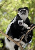 Colobus monkey with young baby sitting in Acacia tree Colobus guereza Elsamere Naivasha Kenya