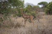 Gerenuk (Litocranius walleri) feeding on Acacia shrub, Tsavo East National Park, Kenya