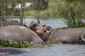 Hippo (Hippopotamus amphibius) with oxpecker on head resting on back of another, Lake Naivasha, Kenya