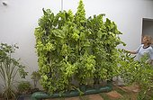 Vertical vegetable gardening using home made aquaponics system Kenya