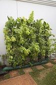 Vertical vegetable gardening using home made aquaponics system, Kenya