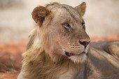 Portrait young male Lion (Panthera leo), Tsavo National Park, Kenya