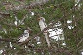 Two Red-billed hornbills (Tockus erythrorhynchus), Tsavo East National Park, Kenya