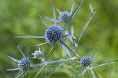 Amethyst eryngo (Eryngium amethystinum), flowers, Abruzzo, Italy