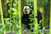 White-faced Saki (Pithecia pithecia) in Bamboos