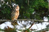 Long eared owl (Asio otus) on a branch