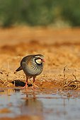Red-legged Partridge (Alectoris rufa) at water hole