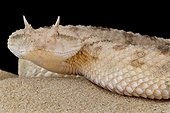 Portrait of Horned dessert viper (Cerastes cerastes) on sand