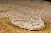Portrait of Arabian horned viper (Cerastes gasperettii) on sand