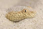 Portrait of Sahara sand viper (Cerastes vipera) in sand, Morocco