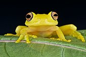 Portrait of Yellow Glass Frog (Cochranella sp) on a leaf