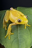 Yellow Glass Frog (Cochranella sp) on a leaf