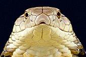 Portrait de Cobra royal (Ophiophagus hannah) sur fond noir