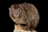 Western tree hyrax (Dendrohyrax dorsalis) on black background