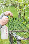 Treatment of a young apple tree with an aphid solution