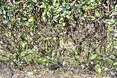 Silverberry hedge after a Psylla attack