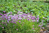 Chive in bloom in a garden