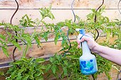Powdery mildew treatment for tomato with Bordeaux mixture