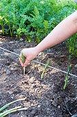 Transplanting of winter leek seedlings in a kitchen garden
