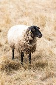 Suffolk sheep in its meadow