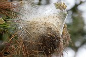 Nest of Pine processionary moth (Thaumetopoea pityocampa) on the site of the dune of Vieux-Bourg, Frehel, Brittany, France