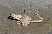 Flying Crab (Liocarcinus holsatus) (Liocarcinus holsatus) burying on a beach, Brittany, France