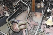 Lactating sow and piglets in a breeding pigs in Saint-Thonan, Brittany, France