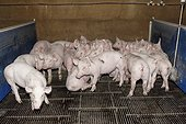 Piglets in a breeding pigs in Saint-Thonan, Brittany, France