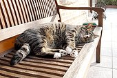 Domestic cat lying in the sun on a bench Heurteauville, Normandy, France