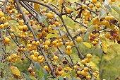 Flowering apple 'Golden Hornet' (Malus x zumi) in autumn at Parc Floral de Paris 12th, France