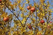 Pomegranates (Punica granatum) in autumn, near the Sacre Coeur Basilica in Paris 18th, France