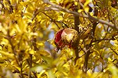 Pomegranate (Punica granatum) open showing his arils autumn, near the Sacre Coeur Basilica in Paris 18th, France