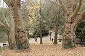 Oriental plane trees (Platanus orientalis) in the Buttes-Chaumont in Paris 19th, France