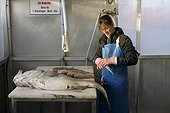 Preparation for the sale of fish of the day with a big cod (Gadus morhua) freshly caught in Quiberville Sur Mer, Normandy, France