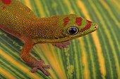 Gold Dust Day Gecko (Phelsuma laticauda) portrait, Comores