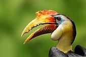 Wrinkled Hornbill (Aceros corrugatus), male, portrait, native to Malaysia and Indonesia, captive, Germany, Europe