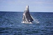 Portrait de Baleine grise (Eschrichtius robustus) à la surface, Lagune de San Ignacio, Basse Californie, Mexique