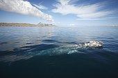 Baleine grise (Eschrichtius robustus) respirant à la surface, Lagune de San Ignacio, Basse Californie, Mexique