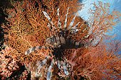 Common Lionfish (Pterois volitans) with venomous spines erect, hovering next to Knotted Sea Fan (Melithaea sp.). Indonesia, Pacific Ocean.