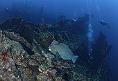 Bumphead Parrotfish (Bulbometopon muricatum) over Liberty shipwreck. Indonesia, tropical Pacific Ocean.