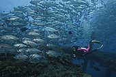 Scuba diver and huge school of Bigeye Jacks (Caranx sexfasciatus) over the Liberty Shipwreck. Tulamben, Bali. Indonesia, tropical Pacific Ocean.