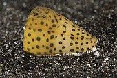 Lettered cone snail (Conus litteratus), very venomous. Indonesia, tropical Pacific Ocean.