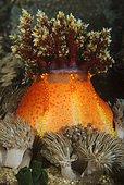 Red Sea Apple sea cucumber (Pseudocolochirus tricolor). Indonesia, tropical Pacific Ocean.