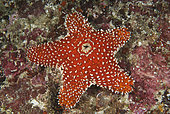 Striking sea star (Euretaster insignis). Waste is expelled through opening on top in center. Indonesia, tropical West-Pacific Ocean.