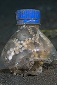 Veined Octopus (Octopus marginatus) hiding under plastic bottle. Note that it is brooding eggs (top center left)! This species also called Marginated Octopus. Indonesia, tropical Pacific Ocean