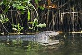Asian Water monitor (Varanus salvator) in water, Tangalle, Sri Lanka